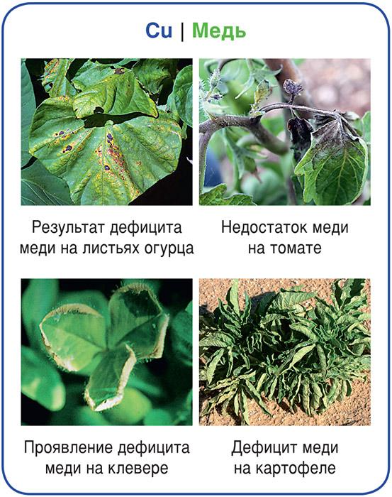 Вредители и болезни огурцов в теплице: обзор методов борьбы (+ фото)