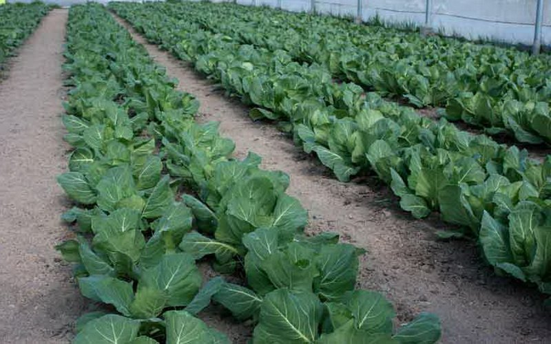 Как вырастить брокколи на огороде: узнайте за 5 минут