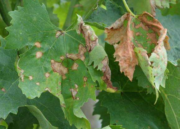 Антракноз: препараты, как бороться, лечение на винограде, смородине
