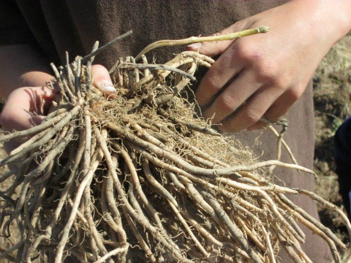 Как вырастить спаржу на даче в открытом грунте простым способом
