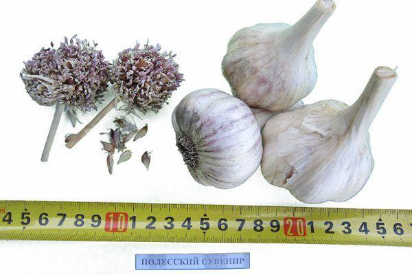 Описание чеснока сорта Полесский сувенир, особенности выращивания и уход