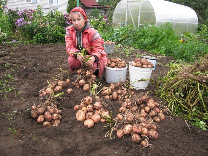Сорт картофеля «луговской» – описание и фото