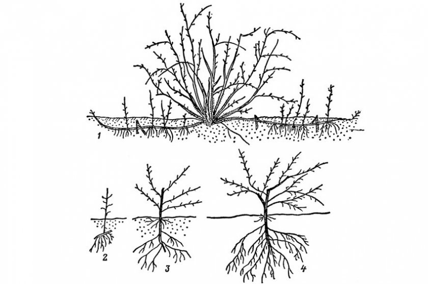 Можно ли вырастить облепиху из косточки в домашних условиях. свойства и особенности выращивания облепихи.