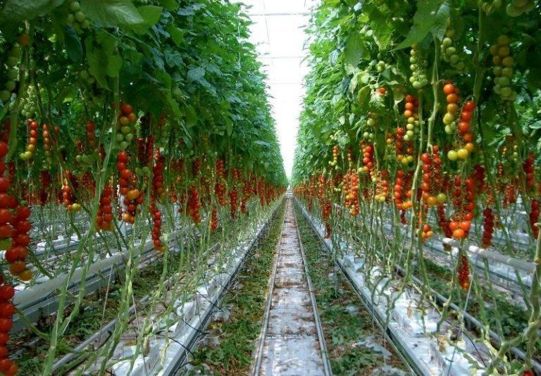 Питательный раствор для гидропоники томатов: оборудование для приготовления, инструкция по применению удобрения