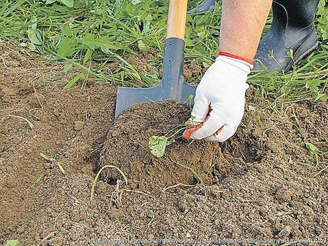 Алыча в саду: личный опыт высоких урожаев