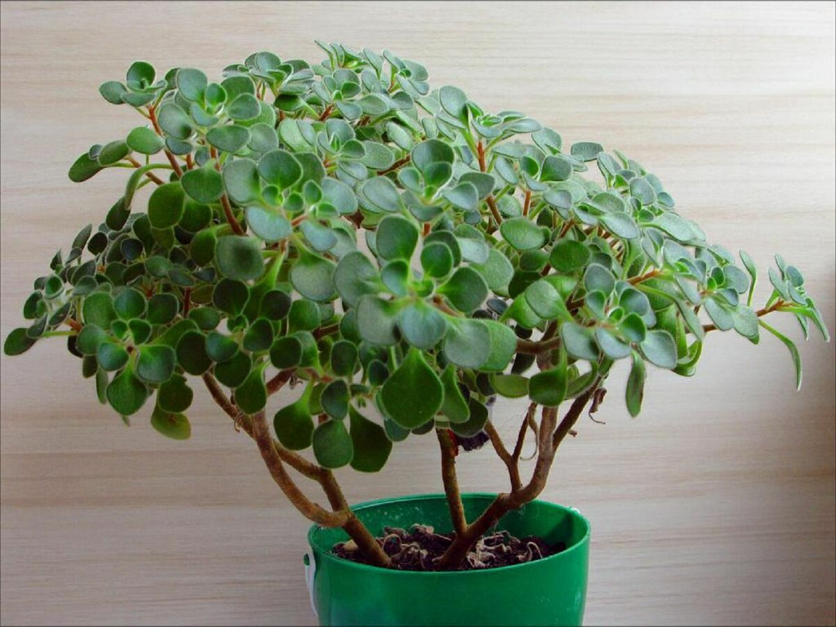 Аихризон (дерево любви): описание видов и рекомендации по уходу в домашних условиях