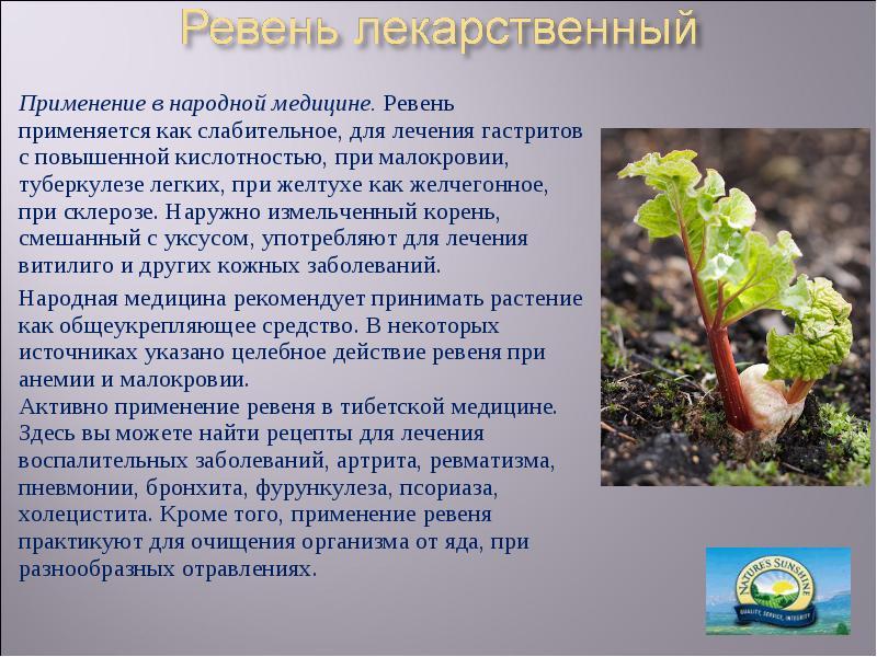 Полезные свойства и противопоказания растения ревень и его применение в лечении заболеваний