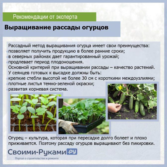 Как садить и выращивать шпинат в открытом грунте