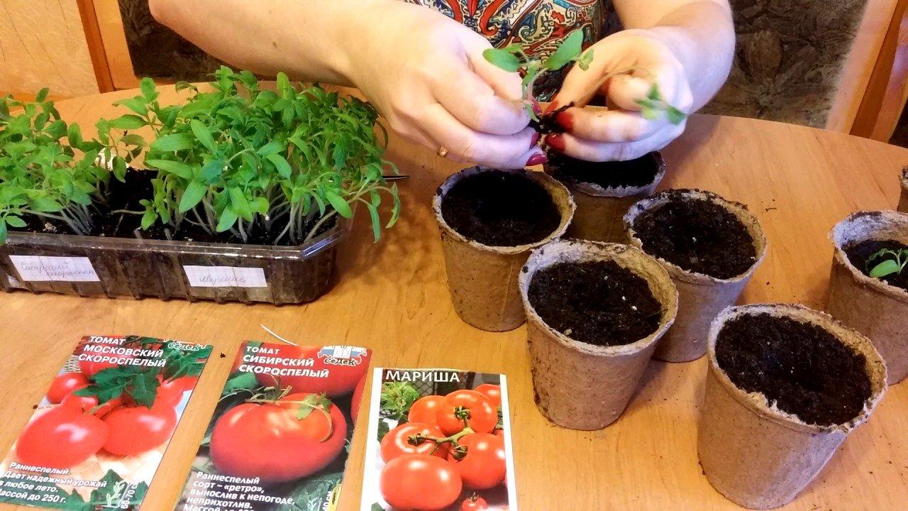 Когда сажать помидоры на рассаду в 2021 году по лунному календарю с учетом региона в теплицу и в открытый грунт