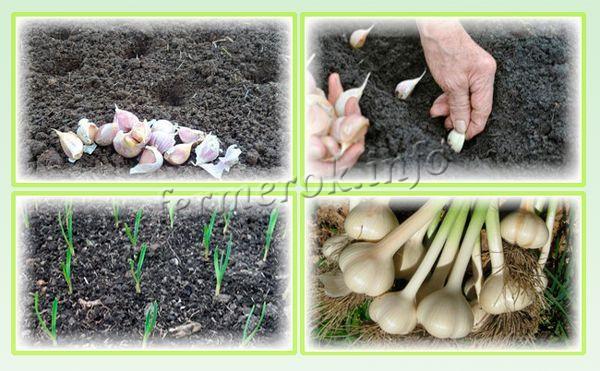 Как вырастить крупный чеснок: правильно сажаем и ухаживаем, следуем советам и собираем урожай крупными головками