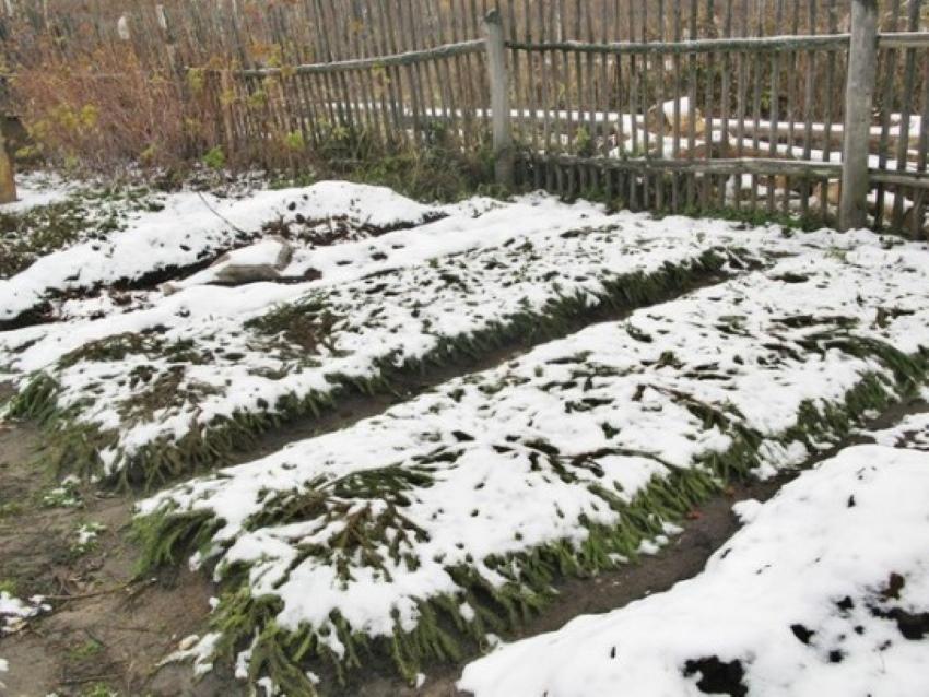 Розмарин выращивание в открытом грунте в подмосковье: как укрыть на зиму, виды и сорта, обрезка, посадка и уход на даче