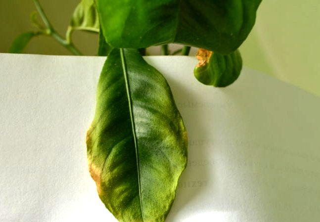 Почему у мандарина желтеют листья, причины болезни и что делать