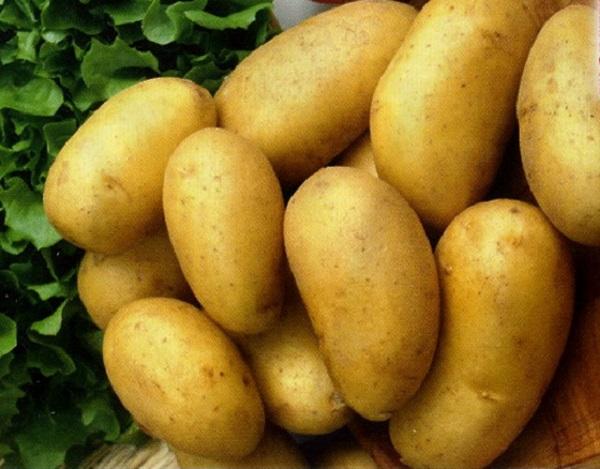 Сорт картофеля «сказка» – описание и фото