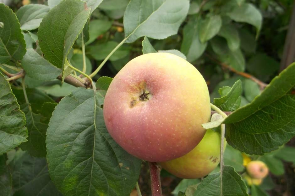 Яблоня уралец — описание сорта, фото, отзывы