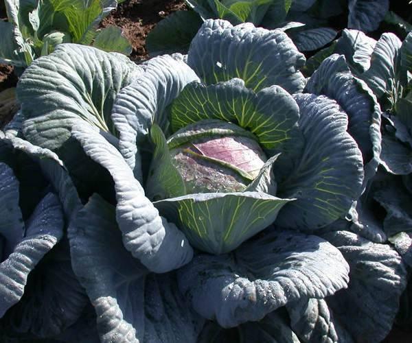 Почему у капусты фиолетовые листья и что делать, чего не хватает