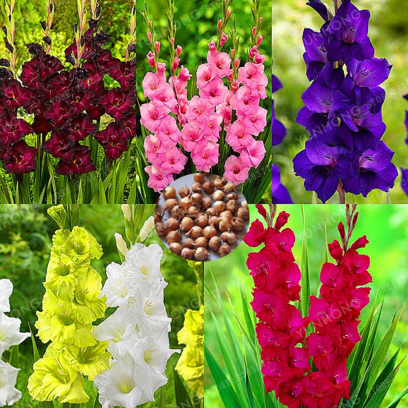 22 сорта гладиолусов, которые стоит посадить