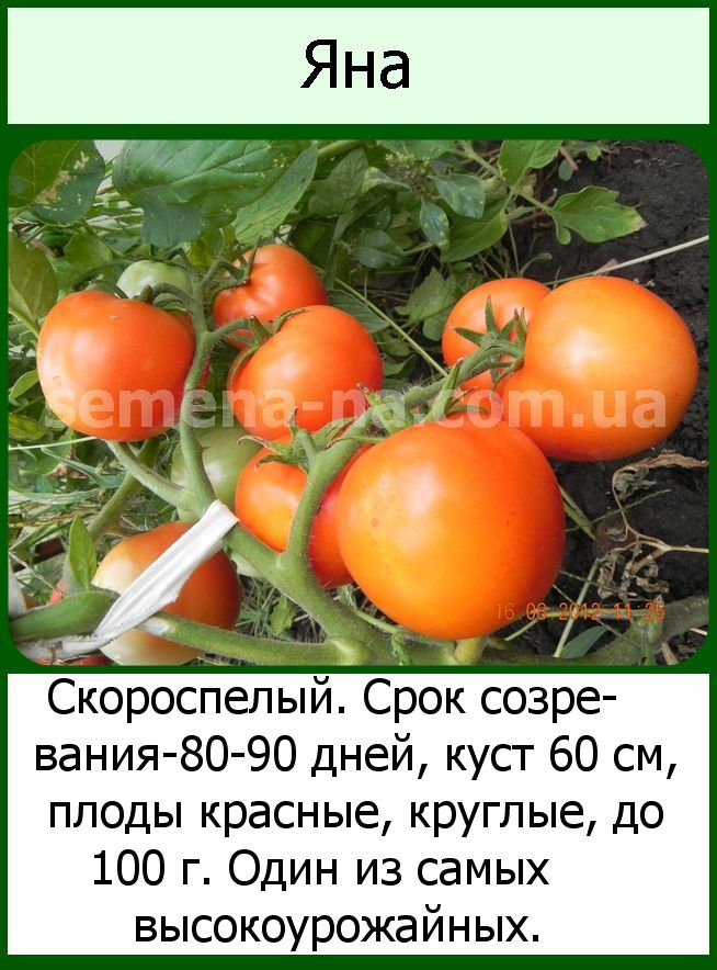 Томат медово сахарный (медовые росы): характеристика и описание сорта с фото