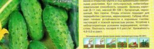 Огурцы сорта «салинас f1»: преимущества пучкового гибрида