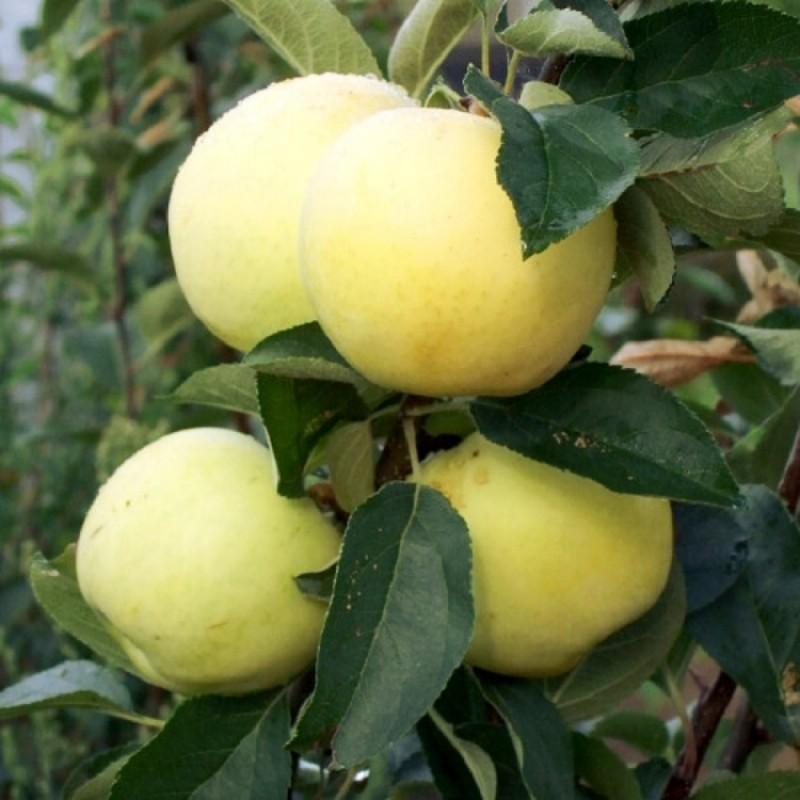 Описание, характеристики и разновидности яблонь сорта аркад, правила выращивания и ухода