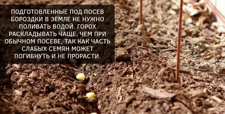 Выращивание гороха: почва, посадка, полив, особенности ухода