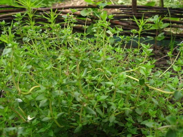 Описание сорта тимьяна медок, особенности выращивания и уход