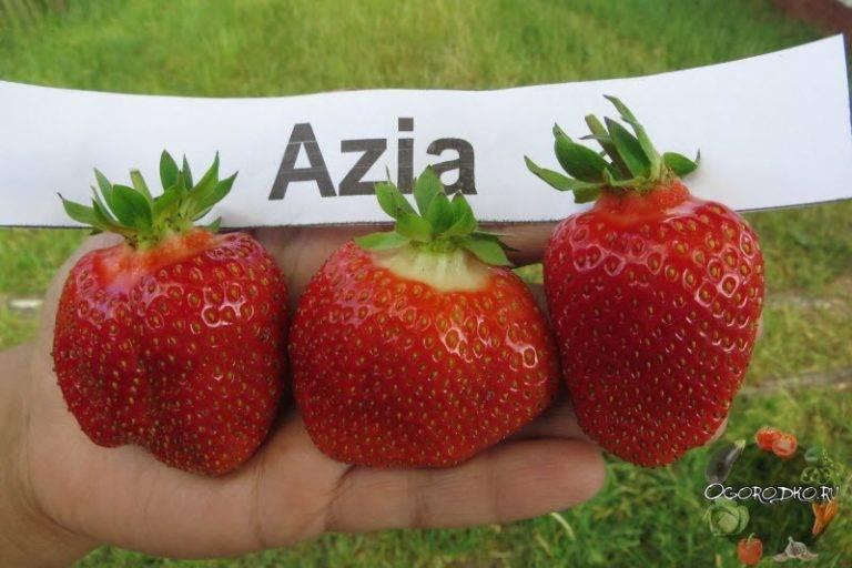 Клубника азия – как правильно посадить, ухаживать и размножать, возможные болезни