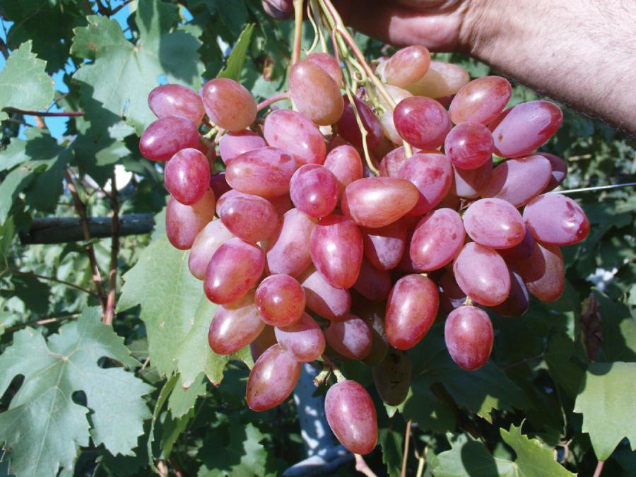 Виноград юбилей новочеркасска: описание сорта, фото, отзывы