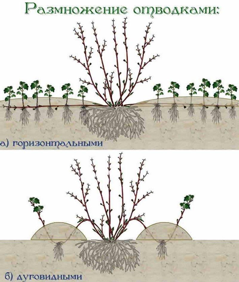 Размножение крыжовника зелеными черенками, делением куста, отводками