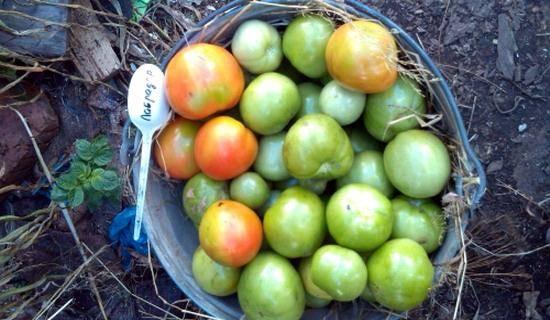 Томат «лабрадор» — раннеспелый, погодостойкий и урожайный