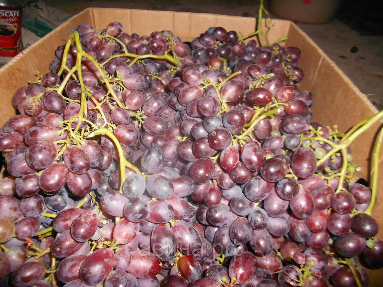 Виноград кодрянка: описание сорта с характеристикой и отзывами, особенности посадки и выращивания, фото