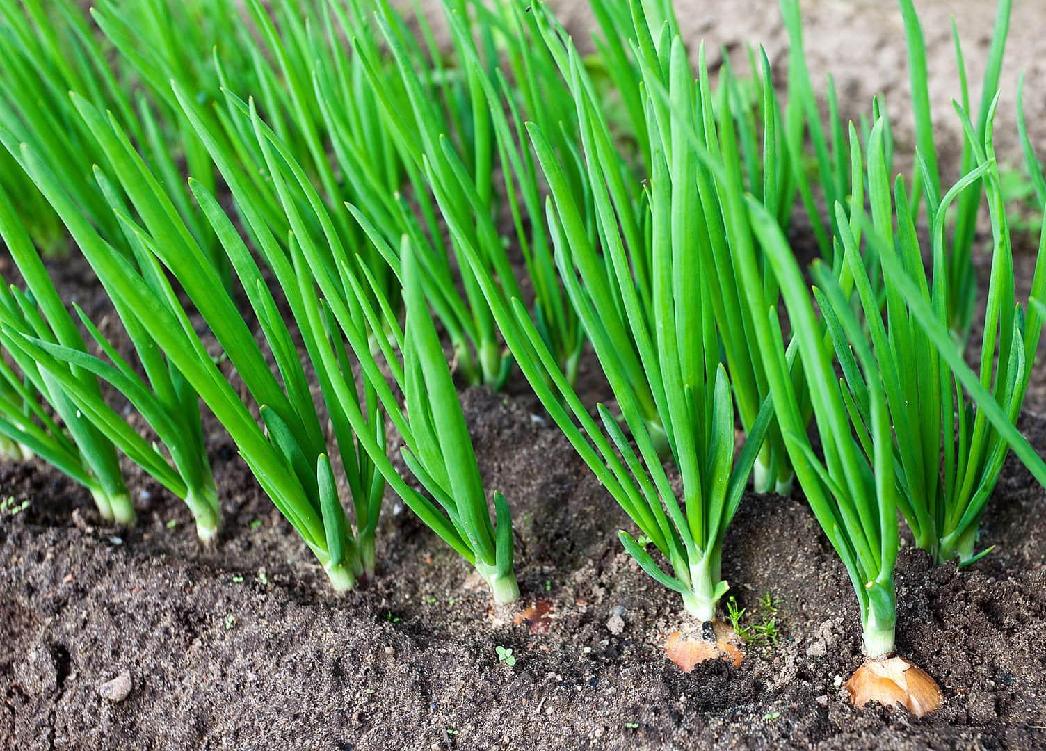 Лук-батун: выращивание из семян, посадка и уход в открытом грунте, фото