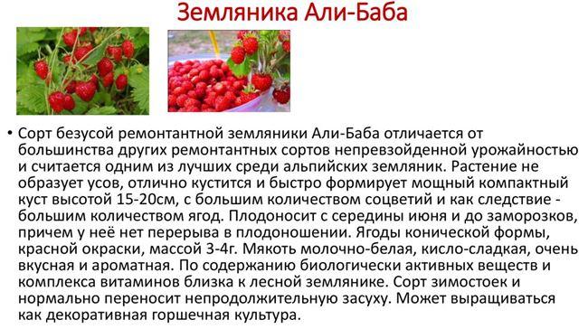 Что собой представляет сорт клубники альбион и как правильно посадить его семена для получения хорошего урожая?