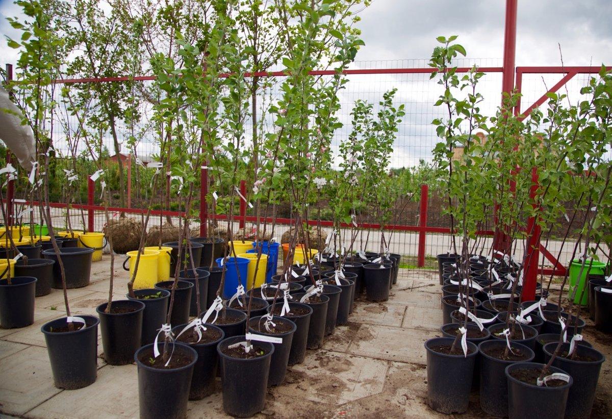 Когда и как часто поливать яблони: сколько нужно воды деревьям в саду