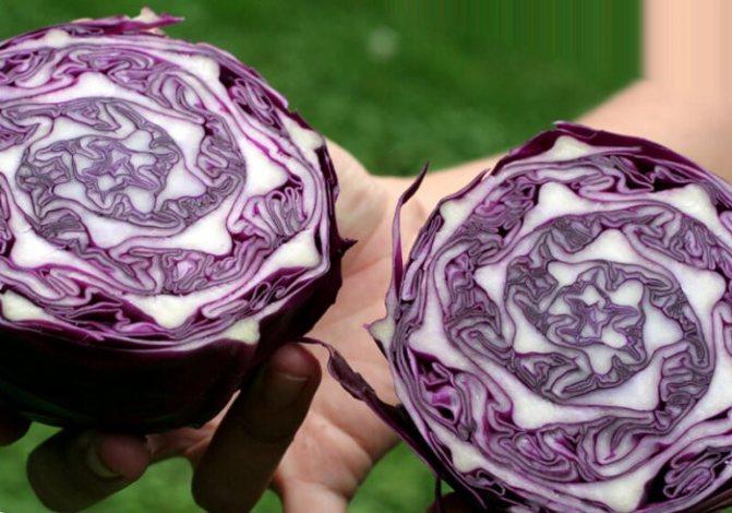 Синяя королева огорода: как вырастить на грядке краснокочанную капусту