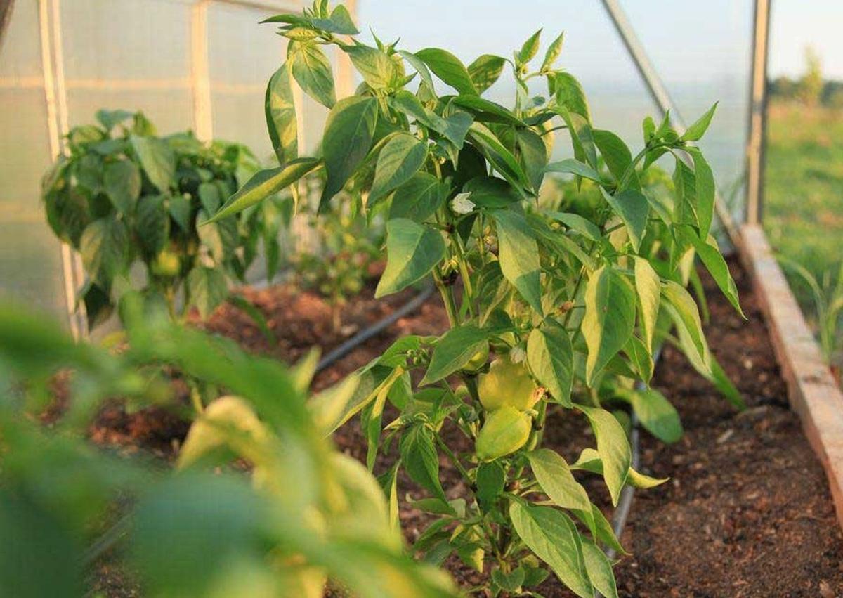 Листья рассады перца желтеют: почему и что делать, видео и фото