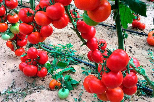 Томат фенда f1 - описание сорта гибрида, характеристика, урожайность, отзывы, фото