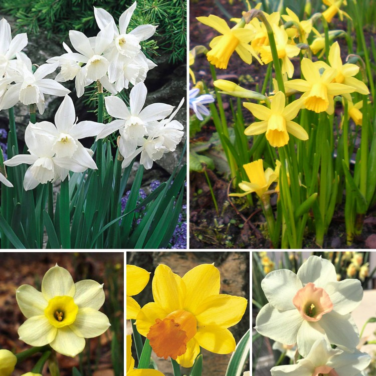 Популярные сорта нарциссов для вашего сада
