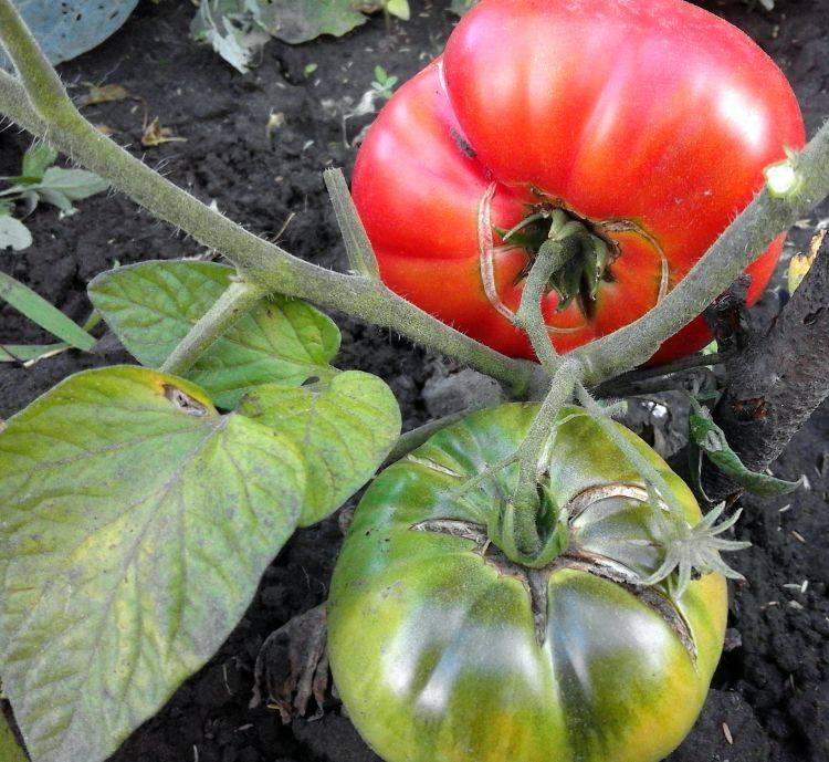 Почему трескаются помидоры при созревании, основные причины, советы. почему трескаются помидоры при созревании, основные причины, советы.