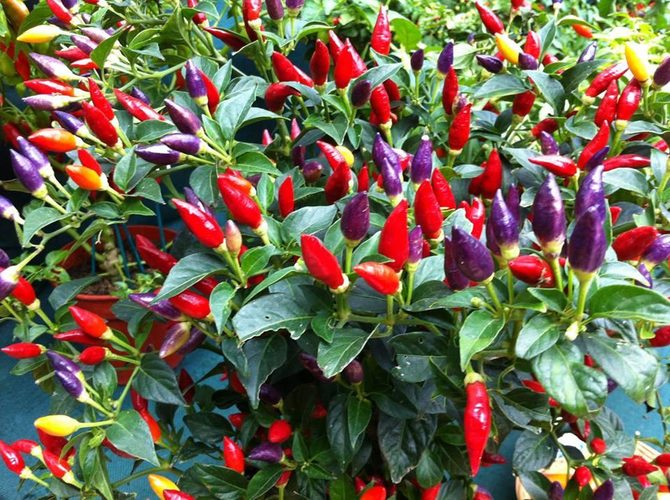 Комнатный острый перец — сорта и особенности выращивания. уход в домашних условиях. фото — ботаничка.ru