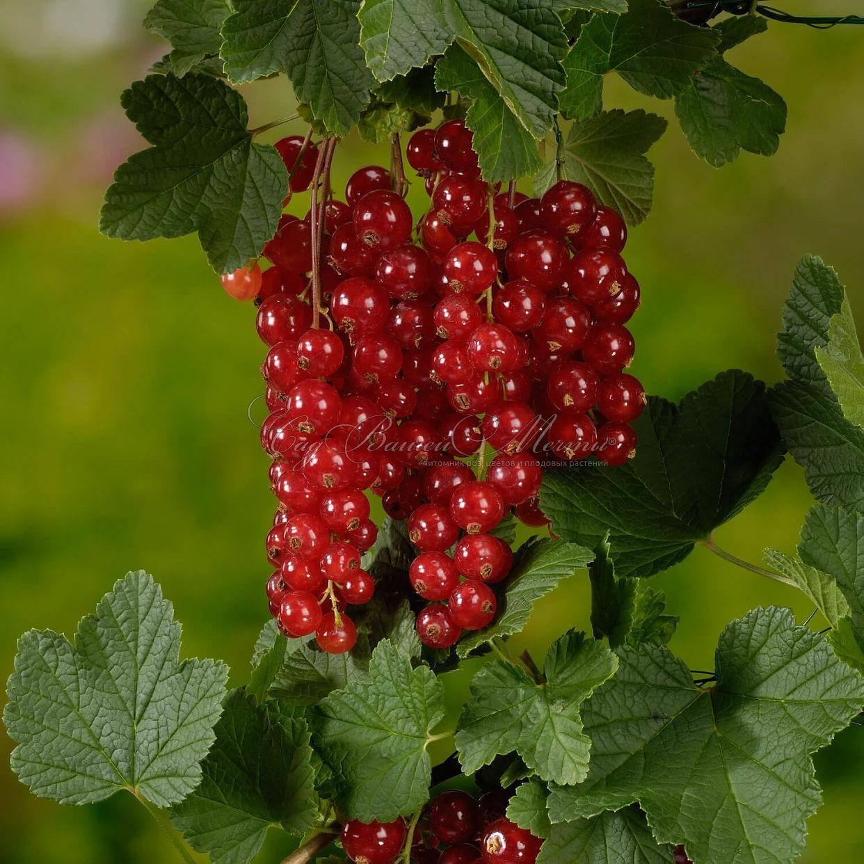 Смородина красная джонкер ван тетс: описание сорта, посадка и уход, отзывы с фото
