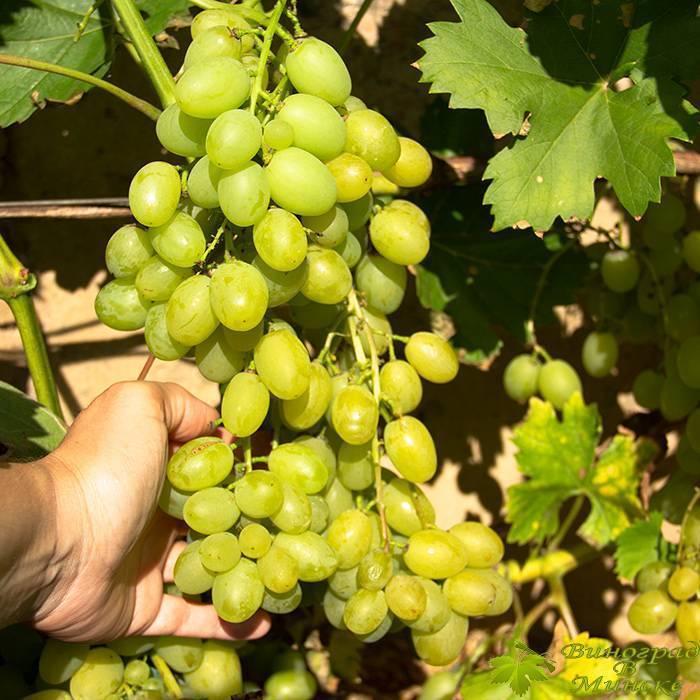 Виноград вичи: описание лианы, особенности посадки и ухода