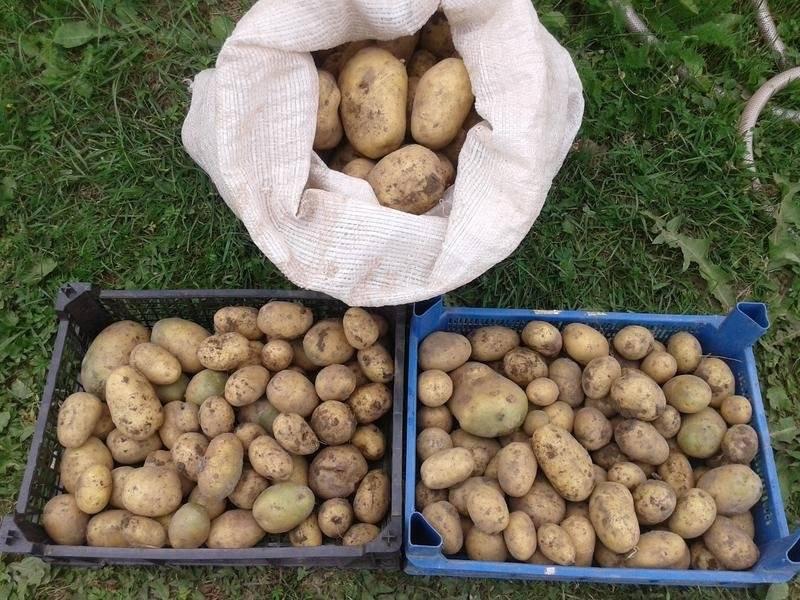 Картофель «гала» - характеристики сорта, особенности выращивания