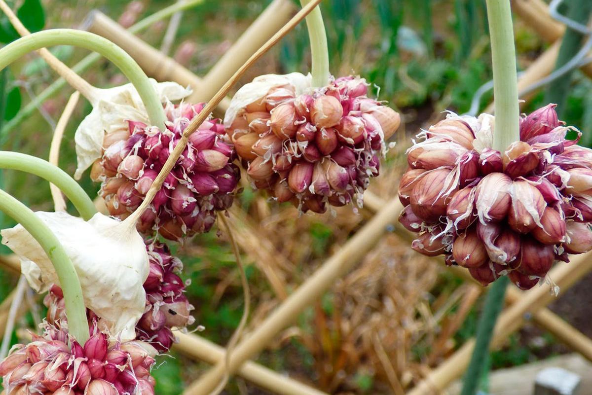 Выращиваем чеснок из бульбочек