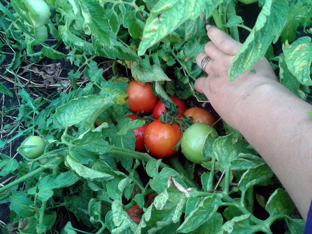Томат лоджейн — описание сорта, отзывы, урожайность