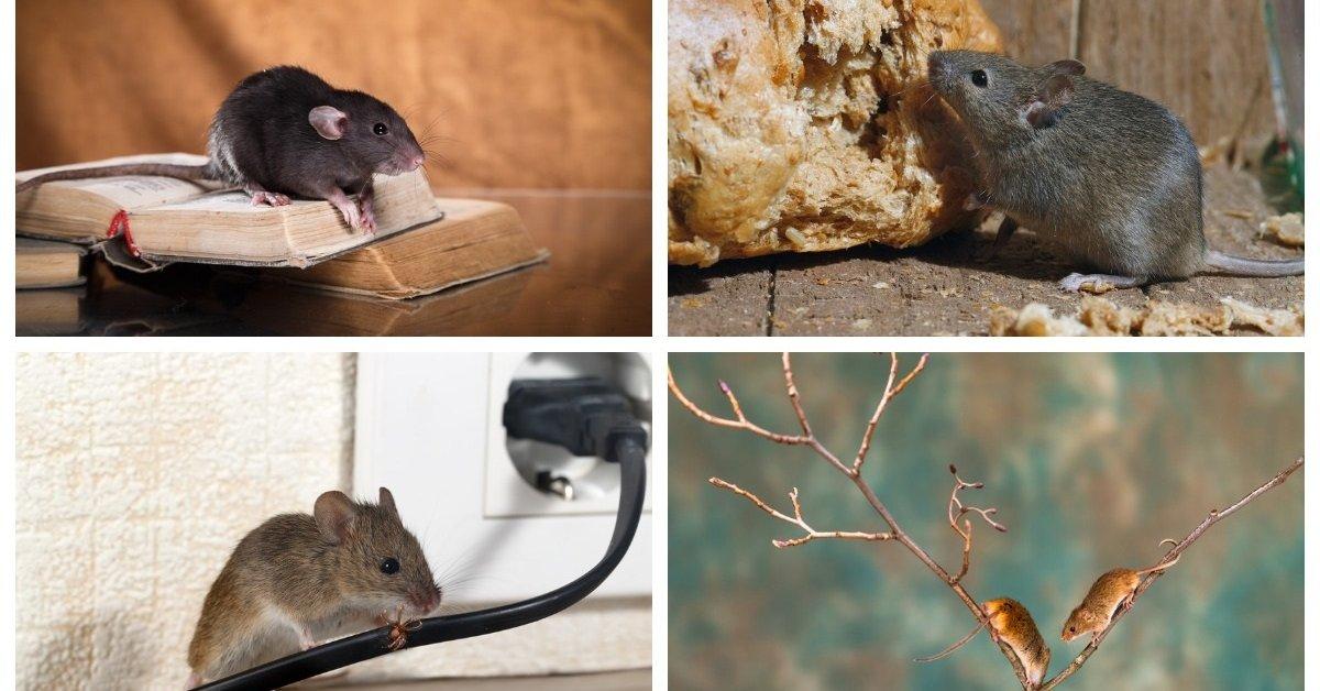 Как избавиться от крыс и мышей в огороде и на даче: действенные методы борьбы с грызунами