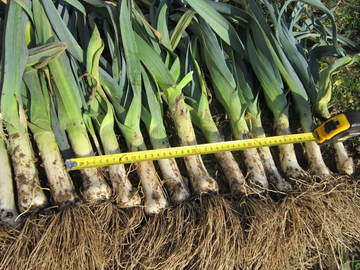Лук-порей: выращивание в открытом грунте, посадка на рассаду