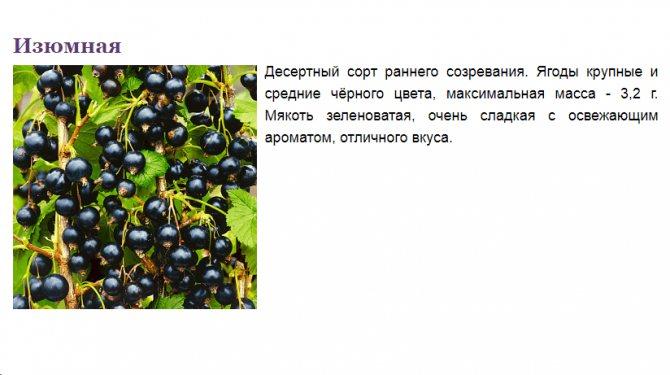 Чёрная смородина пигмей – один из лучших сортов на российском рынке