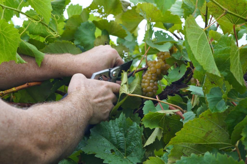 Виноград «софия»: описание сорта, фото и отзывы. основные плюсы и минусы, сравнение с аналогами, характеристики и особенности выращивания в регионах