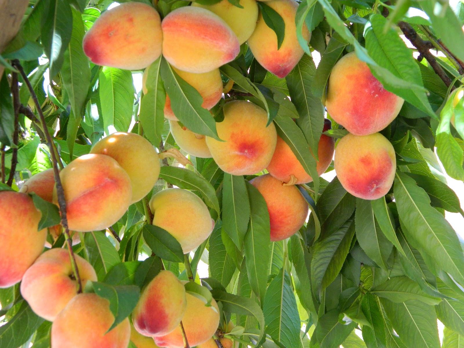 Посадка персика: схема, правила и дальнейший уход