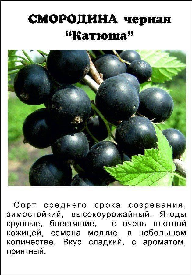 Черная смородина перун описание сорта фото отзывы